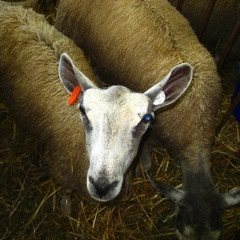 sheep.6256648821_dc5cf7b28d_m